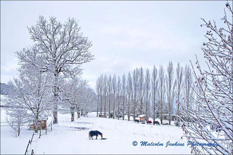 Horses in the Snow (1) / Les Chevaux dans le Neige (1)
