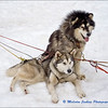 Huskies Waiting For Action / En Attente