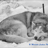 Husky Chilling Out / La Sieste