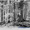 Fresh Snow on Trees / Première Neige