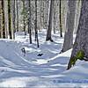 Trees, Snow & Shadow (3)  / Les Arbres, Niege et Ombres (3)