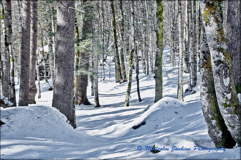 Trees, Snow & Shadow (2)  / Les Arbres, Niege et Ombres (2)