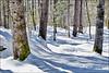 Trees, Snow & Shadow (1) / Les Arbres, Niege et Ombres (1)