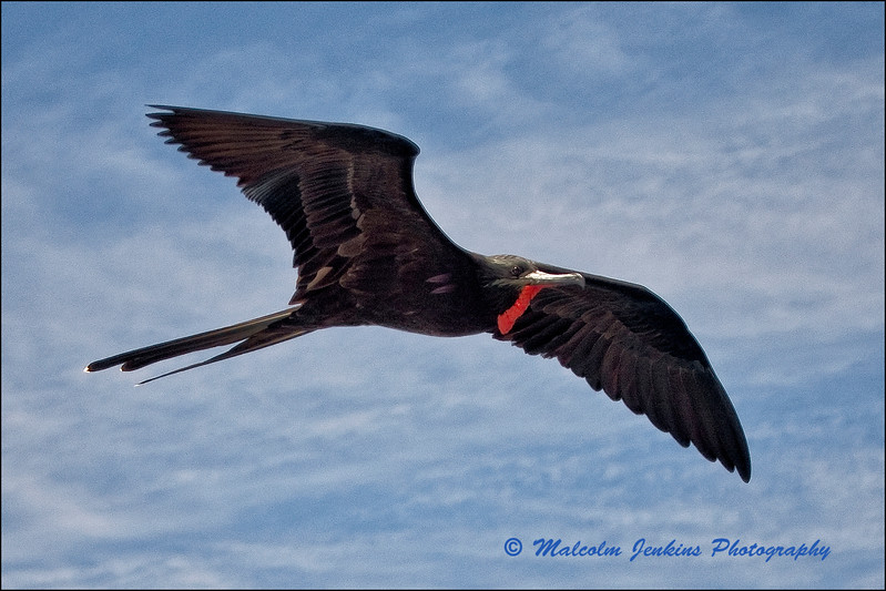 Frigate Bird on Our Way to Tagus Bay