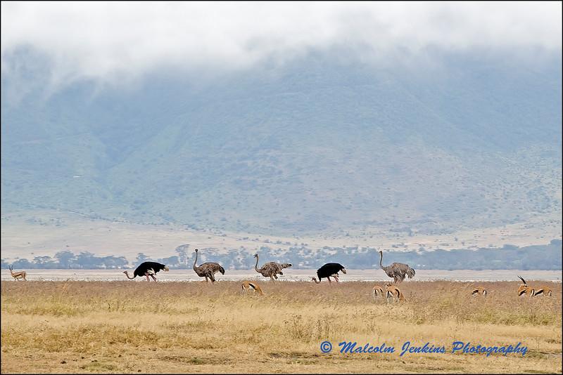 The Ostrich Five