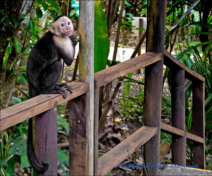 On the Scrounge - White Faced Capuchin Monkey