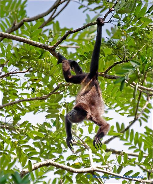 Tortuguero Lodge - Noisy Neighbours - Howler Monkeys