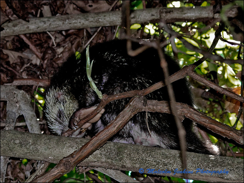 Porcupine Sleeping in a Tree