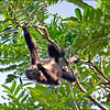 Tortuguero Lodge - Noisy Neighbours - Howler Monkeys