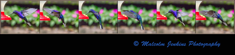 Humming Bird In Action