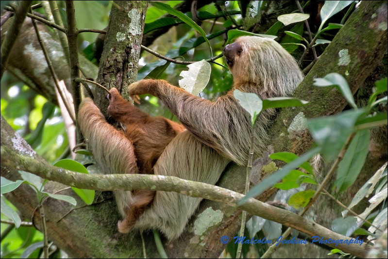 Sloth with Baby