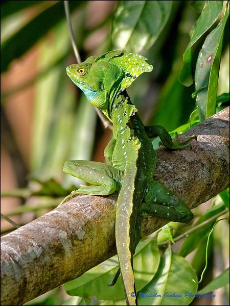 Jesus Christ Lizard