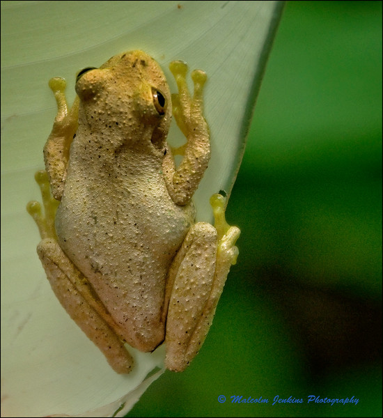 Cloud Forest Frog