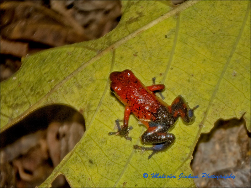 Little Red Frog with Blue Jeans