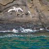Pelican Diving for Fish