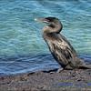 Galapagos Flightless Cormarant