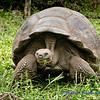 Santa Cruz Tortoise