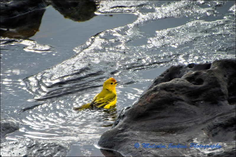 Yellow Warbler - Bath Time!