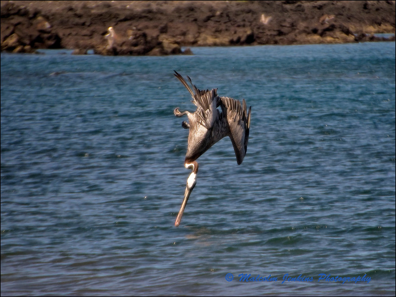 Pelican Fishing: Lining Up (4 of 5)