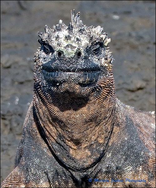 Marine Iguana with Attitude