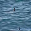 Mola-Mola Sun Fish