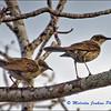 A Pair of Mocking Birds