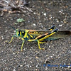 Large Painted Locust