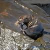 Galapagos Fur Seal Having a Good Scratch