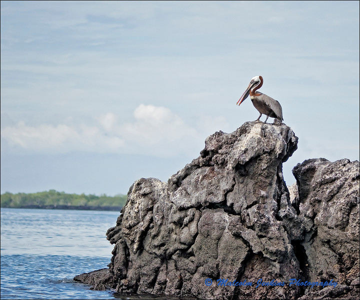 Pelican Standing Guard at Mangle Point
