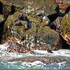Galapagos Fur Seals