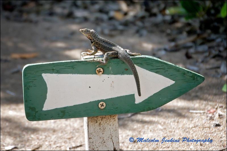 Lost Lava Lizard