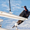 Another Freeloading Frigate Bird
