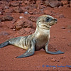 Sea Lion Pup