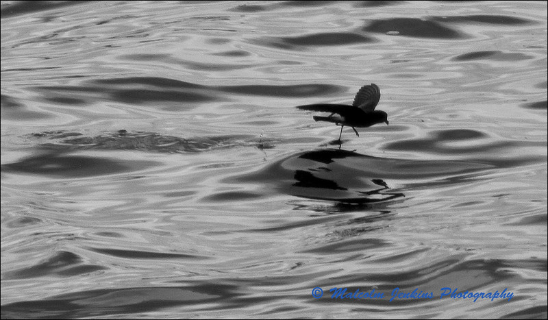 Storm Petrel Skipping Over The Sea