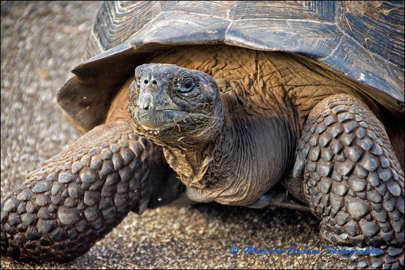 Isabela Tortoise