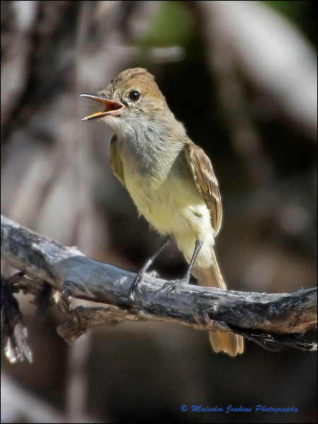 A Mocking Bird With a Lot to Say for Itself