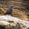 Galapagos Common Noddy