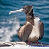 Freeloader Frigate Bird