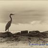 Great Blue Heron (alternative)