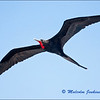 Frigate Bird on Our Way to The Chinese Hat Island