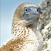 An Irate Blue Footed Booby