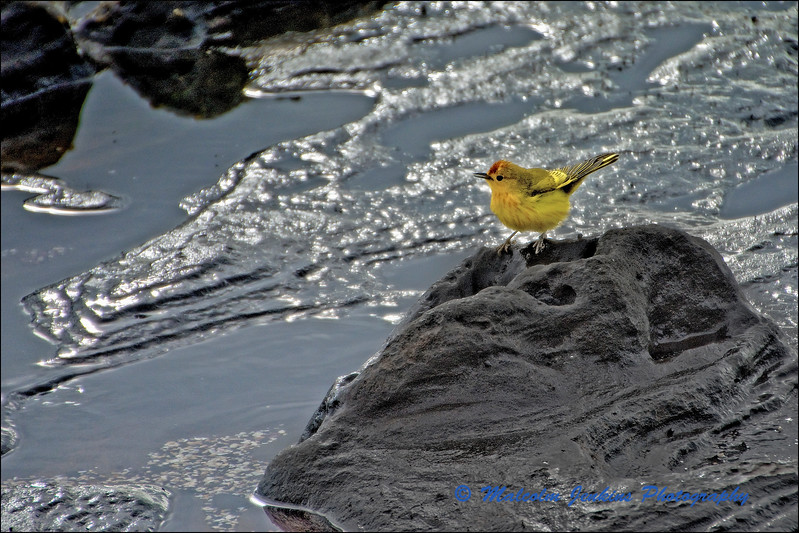 Yellow Warbler Inspecting The Water