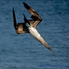 Blue Footed Booby in Full Dive