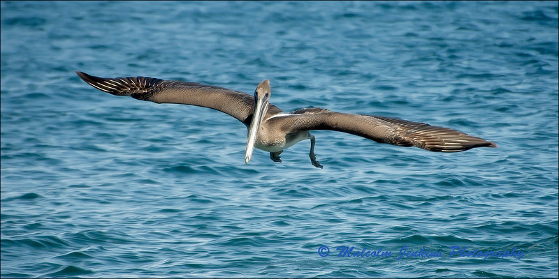 Pelican on a Fishing Trip (1 of 3)