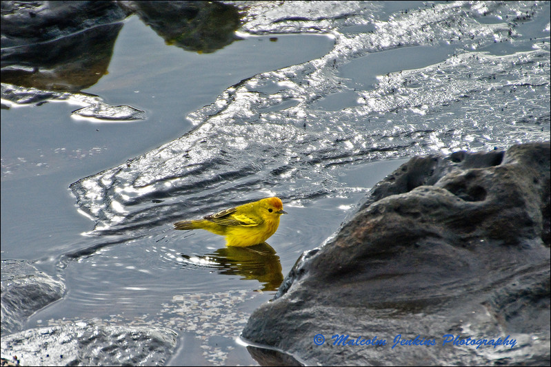 Yellow Warbler Checking The Temperature