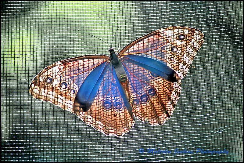 Belizian Blue
