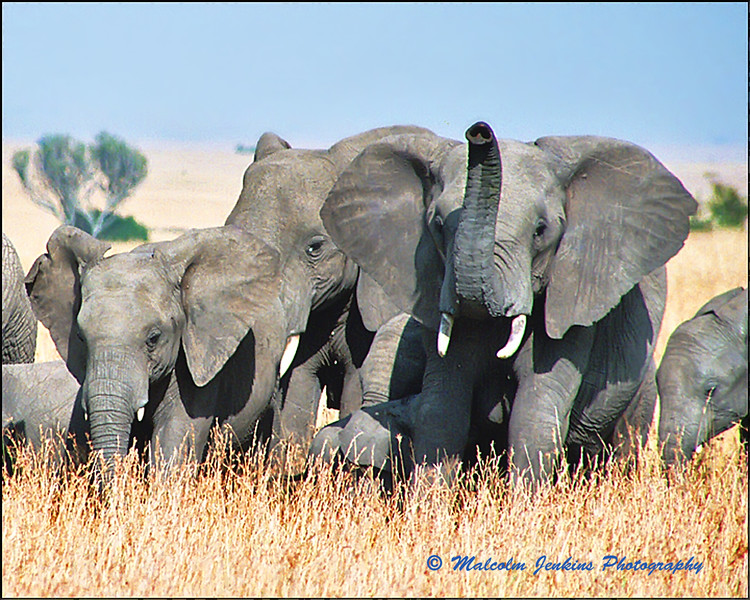 Angry Elephans