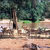 Impala by A River