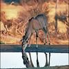 Kudu at Dusk
