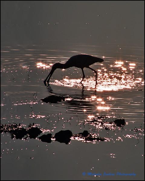 Spoonbill at Break of Dawn